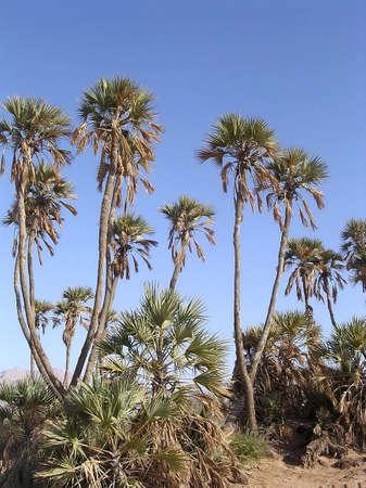 Date palms in Arava desert near Eilat in Israel Stock Photo - 7746615