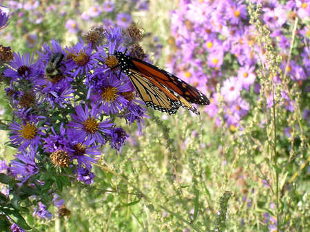 Monarch butterfly among the purple Aster in autumn day on bank of lake Ontario in Toronto, Canada Stock Photo - 7746637