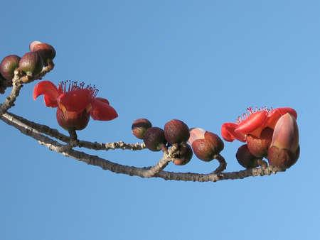empezar: Rama del �rbol de ceiba Bombax blooming rojo en el Parque de inicio en Tel Aviv, Israel  Foto de archivo
