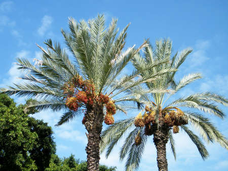 Tops of palm in Volovelski-Karni Garden in Tel Aviv, Israel