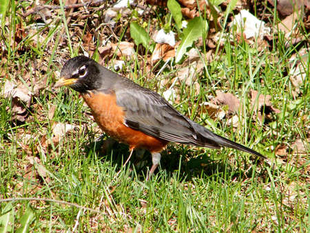 American Robin isolated in early spring in Thornhill Ontario, Canada Stock Photo - 7746763