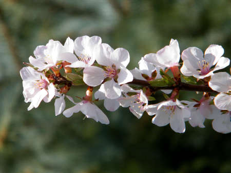 Blossoming Cherry Branch in spring in Thornhill Ontario, Canada Stock Photo - 7746736