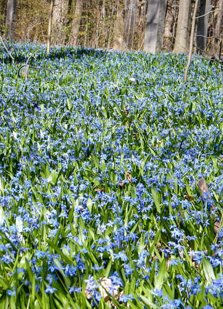 thornhill: Carpet of blue snowdrops in early spring in Thornhill, Canada