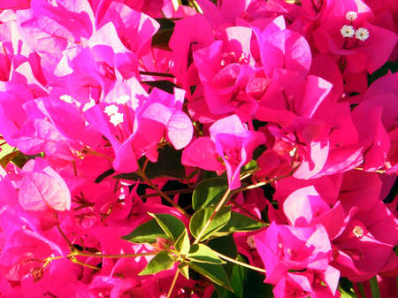 Red Bougainvillia flowers in Or Yehuda, Israel
