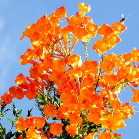 Orange flowers of Adenocalymna tree and Wasp in Or Yehuda, Israel
