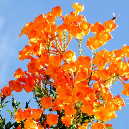 Orange flowers of Adenocalymna tree and Wasp in Or Yehuda, Israel