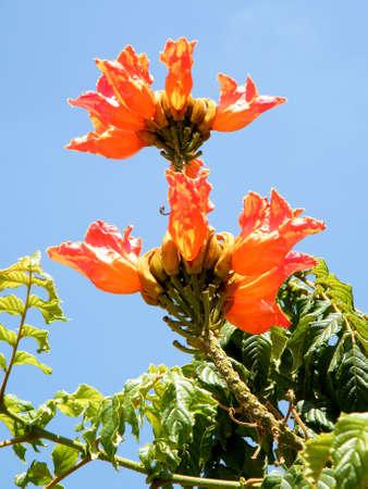 Branch of Spathodea campanulata flowers in Or Yehuda, Israel