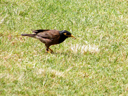 Common Myna on a grass in park Canada in Or Yehuda, Israel Imagens