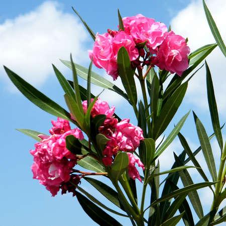 Red Oleander branch in Or Yehuda, Israel       Stock Photo