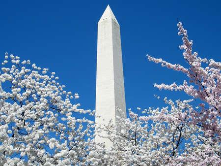 벚꽃과 워싱턴 DC, 워싱턴에있는 워싱턴 기념비의 꼭대기