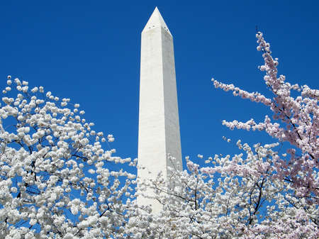 Cherry Blossoms and top of the Washington Monument in Washington DC, USA Stock Photo