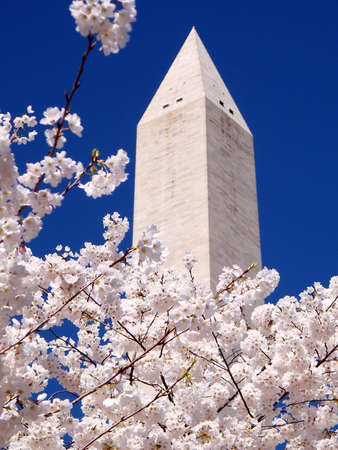 Pale pink Cherry Blossoms near top of the Washington Monument in Washington DC, USA Stock Photo
