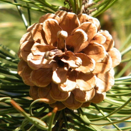 thornhill: Light brown fir cone isolated in Thornhill Ontario, Canada