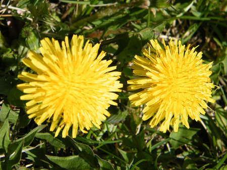 Two Common Dandelion in Thornhill Ontario, Canada Stock Photo - 7915448