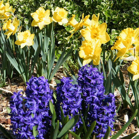 thornhill: Yellow narcissuses and blue Gypsy Queen in Thornhill Ontario, Canada Stock Photo