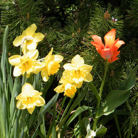 thornhill: Yellow narcissuses and red tulip in Thornhill Ontario, Canada Stock Photo
