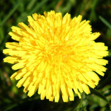 thornhill: Common Dandelion isolated in Thornhill Ontario, Canada