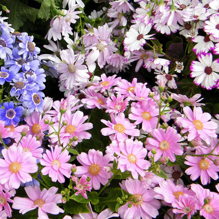 Carpet of pink, blue and white daisies in garden in Washington DC, USA photo