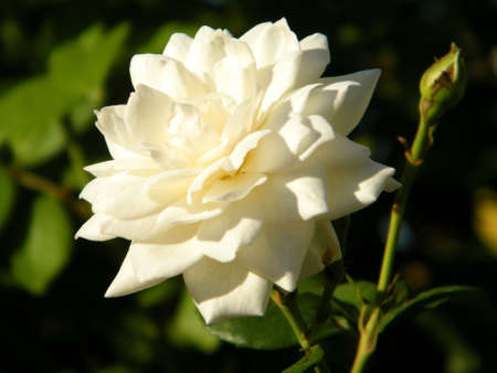 White Rose isolated in Or Yehuda, Israel   Archivio Fotografico