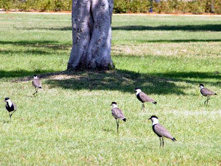 Lapwings on the grass in Ramat Gan Park, Israel Banco de Imagens