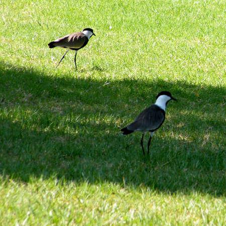 Two lapwings in Ramat Gan Park, Israel