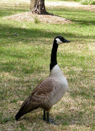 Canadian goose in Tysons Corner near Washington DC, USA Stock Photo - 8014236