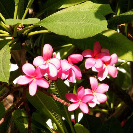 Pink Frangipani Flowers in Or Yehuda, Israel  Stock Photo
