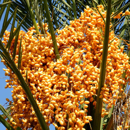 Yellow Dates of palm tree in Or Yehuda, Israel  photo