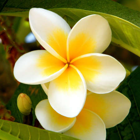 White Frangipani Flower on a green background in Or Yehuda, Israel