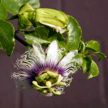 Passiflora flower isolated in Or Yehuda, Israel  Stock Photo