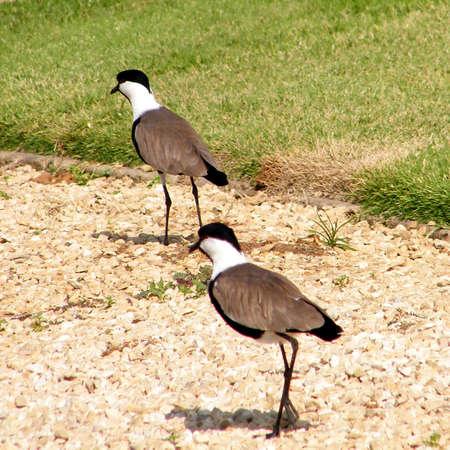 Two lapwings walk in Ramat Gan Park, Israel