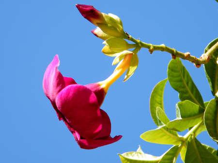dipladenia: Fiore di sanderi di Mandevilla in Or Yehuda, Israele Archivio Fotografico