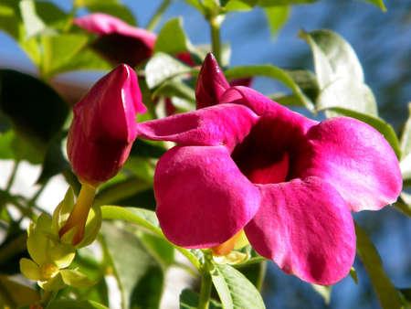 Flowers of Mandevilla sanderi in Or Yehuda, Israel