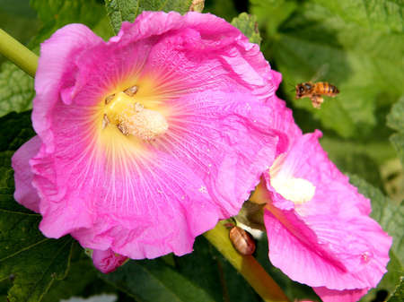 bristly: Bee and Bristly hollyhock flower in Neve Monosson, Israel Stock Photo