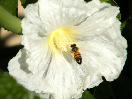 bristly: Bee on White Bristly hollyhock flower in Neve Monosson, Israel