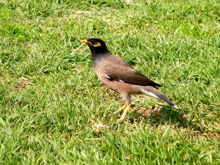 peculiar: Common Myna isolated on a grass in Or Yehuda, Israel
