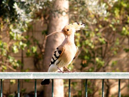 Hoopoe on a fence in Or Yehuda, Israel