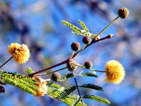 Acacia farnesiana branch in Or Yehuda, Israel