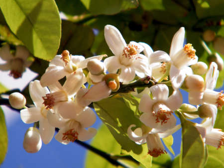Grapefruit Blossoms in the winter in Or Yehuda, Israel Stock Photo