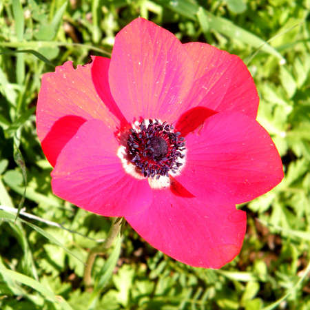 Beautiful Wild Red Crown Anemone isolated in winter in Shoham, Israel