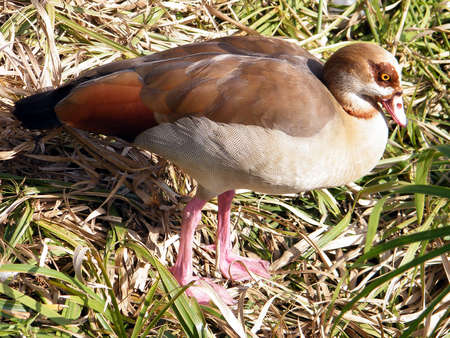 waterbird: Egyptian geese on the banks of the pond of Ramat Gan Park, Israel Stock Photo