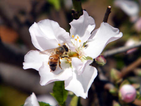 almond bud: Bee on a flower of Almond tree in Neve Monosson near Or Yehuda, Israel  Stock Photo