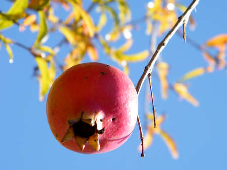 lance shaped: Pomegranate isolated in Neve Monosson near Or Yehuda, Israel
