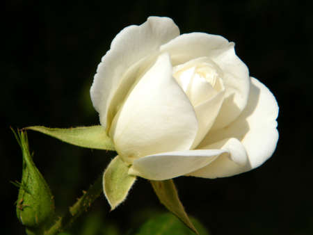 Beautiful White Rose isolated in Or Yehuda, Israel   photo