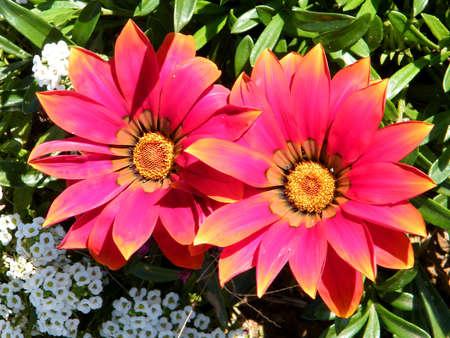 Two Red Gazania flowers in park in Ramat Gan, Israel