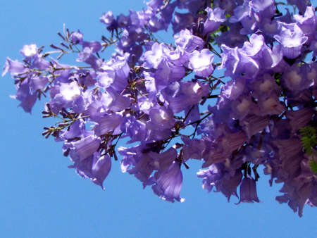 Jacaranda flowers in  Or Yehuda, Israel