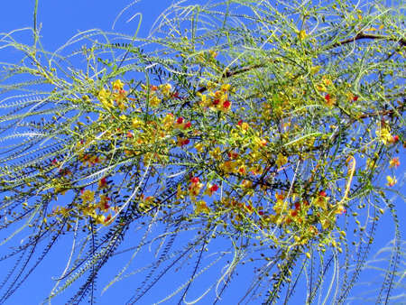 aculeata: Blooming Parkinsonia aculeata branch in Or Yehuda, Israel                                Stock Photo
