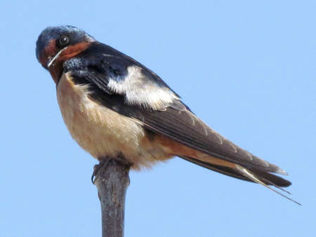 Barn Swallow isolated in Humber Bay Park on bank of lake Ontario in Toronto, Canada                                              photo