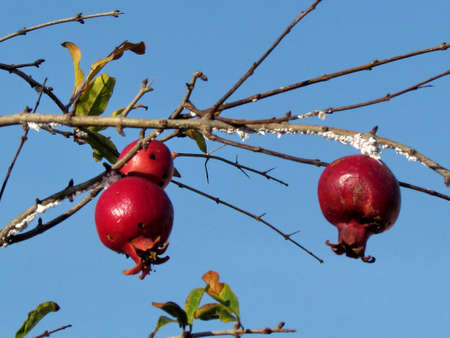 Red pomegranates in old city Jaffa, Israel                               photo