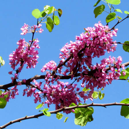 Chinese Redbud Tree flower in Jerusalem, Israel